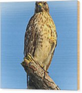 Stately Red-shouldered Hawk Wood Print by Barbara Bowen