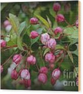 Apple Blossoms During A Rain Shower Wood Print