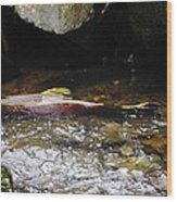 Steelhead Resting In The Shallows Wood Print