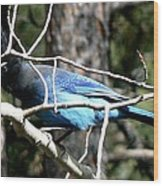Steller's Jay - Peaking Through Branches Wood Print