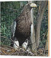 Stellers Sea Eagle Wood Print
