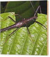 Stick Insect Feeding On A Leaf Wood Print by Science Photo Library