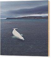 Stranded Beluga Whale Awaiting Incoming Wood Print