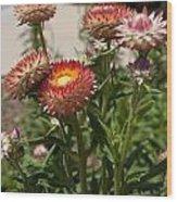 Straw Flowers Xerochrysum Bracteatum Wood Print