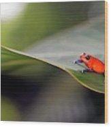 Strawberry Poison Frog Wood Print
