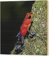 Strawberry Poison Frog Wood Print
