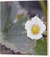 Strawberrys Flower Wood Print