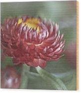Strawflower Wood Print