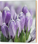 Striped Purple Crocuses In The Snow Wood Print