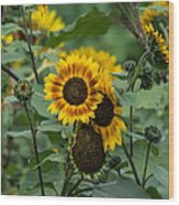 Striped Sunflower Wood Print