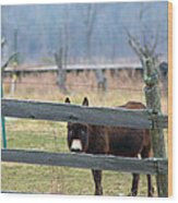 Stubborn As A Mule Wood Print by Rhonda Humphreys