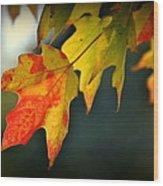 Sugar Maple Fall Colors Wood Print