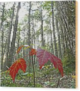 Sugar Maple In Old-growth Canadian Wood Print
