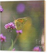 Sulphur Butterfly On Verbena Flower Wood Print