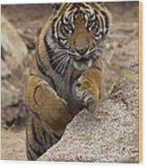 Sumatran Tiger Cub Jumping Onto Rock Wood Print