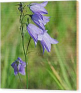 Summer Flowering Harebell Wood Print