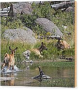 Summer Morning Dip - Elk In Yellowstone National Park - Wyoming Wood Print