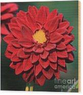 Fiery Red Dahlia Wood Print