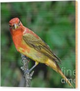 Summer Tanager Changing Color Wood Print