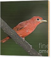 Summer Tanager Male Perched-ecuador Wood Print