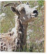 Sunbathing Mountain Sheep Wood Print