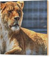 Sunbathing Lioness  Wood Print