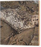 Sunbathing Sea Lion Wood Print