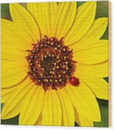 Sunflower And Ladybird Beetle 2am-110490 Wood Print