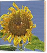Sunflower At Latrun Wood Print
