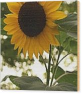 Sunflower Backlighting Wood Print