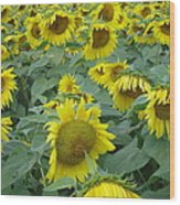 Sunflower Beauty II Wood Print