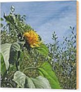 Sunflower Bloom Wood Print
