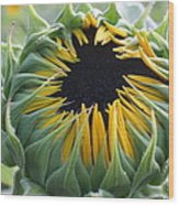 Blooming Sunflower Wood Print