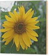 Sunflower Directly... Wood Print