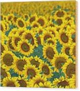 Sunflower Explosion Wood Print