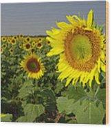 Sunflower Field 1 Wood Print