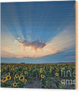Sunflower Field At Sunset Wood Print