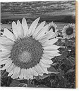 Sunflower Field Forever Bw Wood Print