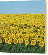 Sunflower Field, North Dakota, Usa Wood Print