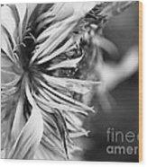Sunflower Focus Wood Print