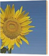 Sunflower, Helianthus Annuus Wood Print