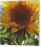 Sunflower Highlight Wood Print