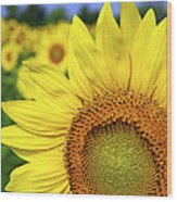 Sunflower In Field Wood Print by Elena Elisseeva