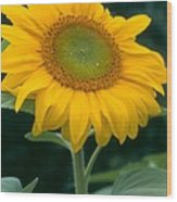 Sunflower In Seattle Wood Print