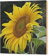 Sunflower Looking To The Sky Wood Print