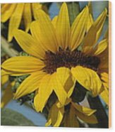 Sunflower Madness  Wood Print by Scott Ware
