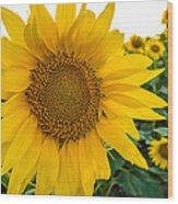 Fibonacci In Full Bloom Wood Print