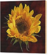 Sunflower Opening Wood Print