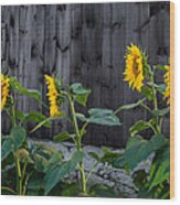 Sunflower Quartet Wood Print