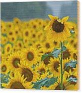 Sunflower Rain Sussex Nj Wood Print